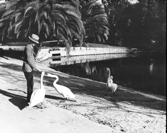 A man feeding swans at a city park pond