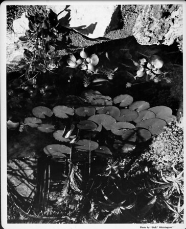 Lily pond in garden of 1948