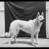 ILAK the big dog, Southern California, 1926