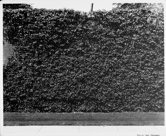 Exterior of residential home in 1948, landscaping, hedges, ivy