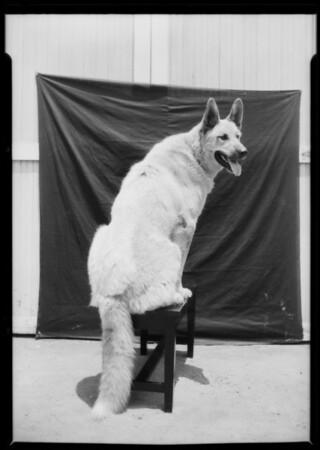 ILAK the big dog, Southern California, 1926