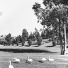 Swans and ducks on the landscape of Forest Lawn Memorial Park