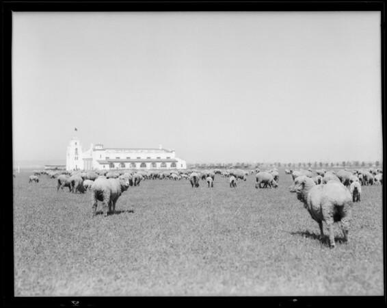 Sheep as lawn mower at Los Angeles Municipal Airport [Los Angeles International Airport], H-2, Los Angeles, CA, 1930