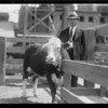 Cattle, Safeway, Southern California, 1932