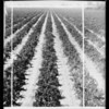 Plant lice & orchard, Southern California, 1932