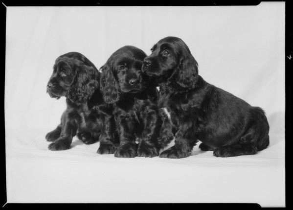 "Cocker Spaniels from ""Obo"" kennels, Southern California, 1935"