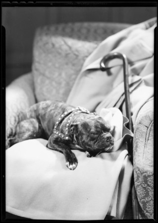Buster on chair, Southern California, 1932