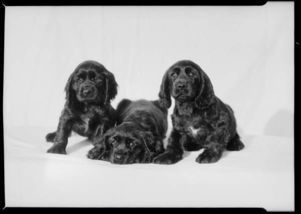 """Cocker Spaniels from """"Obo"""" kennels, Southern California, 1935"""