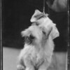 Sealyham Terrier, Long Beach, CA, 1934