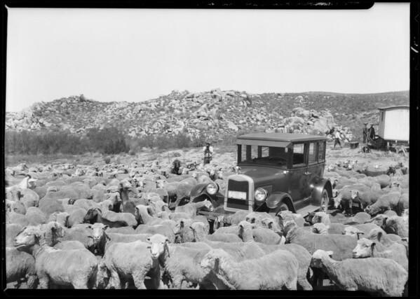 Chevrolet & sheep in Mockingbird Canyon, Southern California, 1926