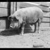 Pig presented to mission, Southern California, 1931