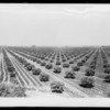 Fig trees, agriculture, and irrigation, Southern California, 1927