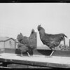 Chickens, Pacific Southwest Poultry Farm, Southern California, 1927