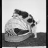 Dog saying prayers, Southern California, 1934