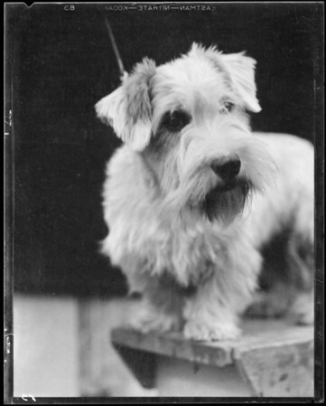 Sealyham Terrier, Long Beach, CA, 1934