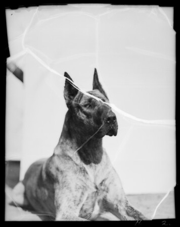 Mrs. Tiffany Thayer's dogs, Southern California, 1936
