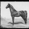 Painting of horse, Southern California, 1936