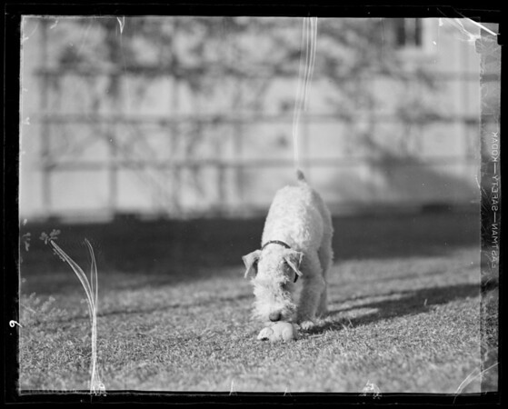 """""""Jiggs"""" wire hair terrier playing with rat, Mrs. Patterson dog at Westwood, Southern California, 1936"""