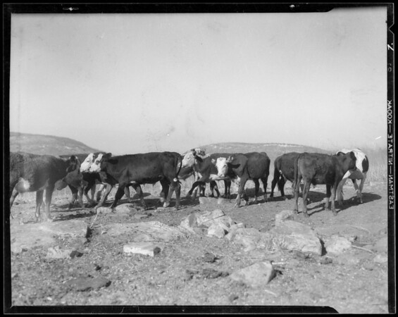 Ranch scene, cattle, sheep, and farming, Palos Verdes, CA, 1935
