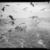 Seagulls, Southern California, 1935