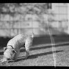 """Jiggs"" wire hair terrier playing with rat, Mrs. Patterson dog at Westwood, Southern California, 1936"