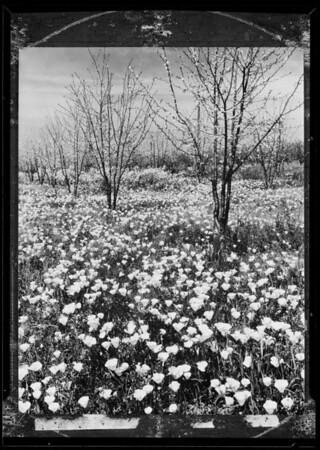 Flower scene, Southern California, 1936