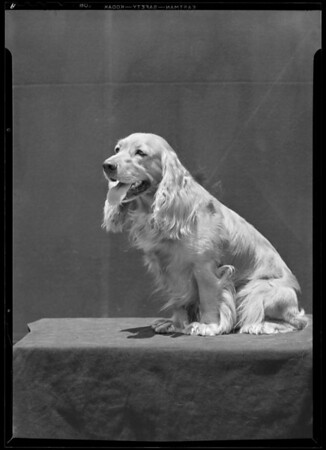 Cocker Spaniel, Southern California, 1940