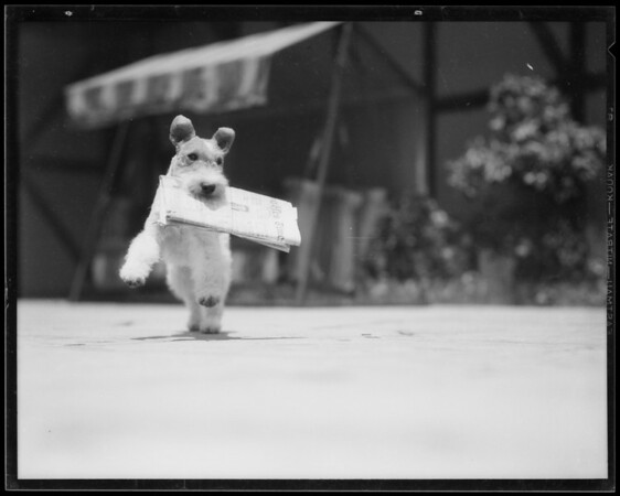 Dog carrying newspaper, Los Angeles, CA, 1935
