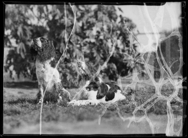 English Springer Spaniels, Rosebud Kennels, Southern California, 1936