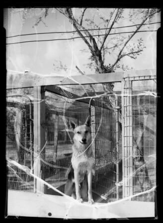 Hollywood dog training school, Southern California, 1936