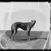 Whippet, Skelter, owned by Larry Williams, Southern California, 1936