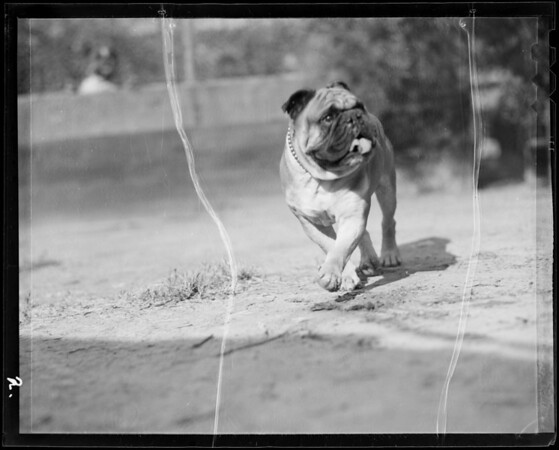 English bulldog at Long Beach, CA, 1936