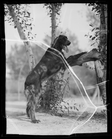 Irish Setter, Coast Fisheries, Southern California, 1936
