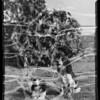 English Springer Spaniels, Rosebud Kennels, Southern California, 1936
