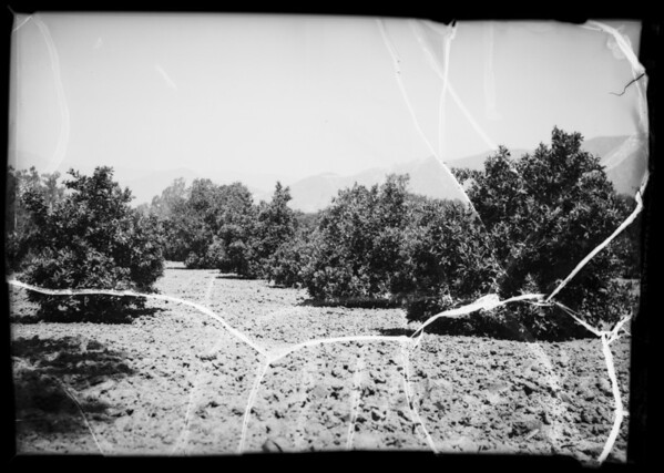 Orange grove, Azusa, CA, 1936