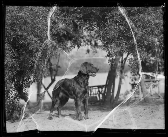 Irish Setter, Coast Fisheries, Southern California, 1936