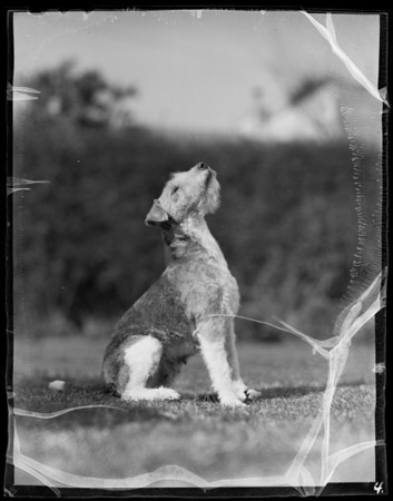 """Peggy"", Russ Paulson's dog, Southern California, 1936"