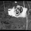 Queenie & Laddie in a huddle, Southern California, 1935