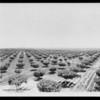 Irrigating at Planada, Southern California, 1927