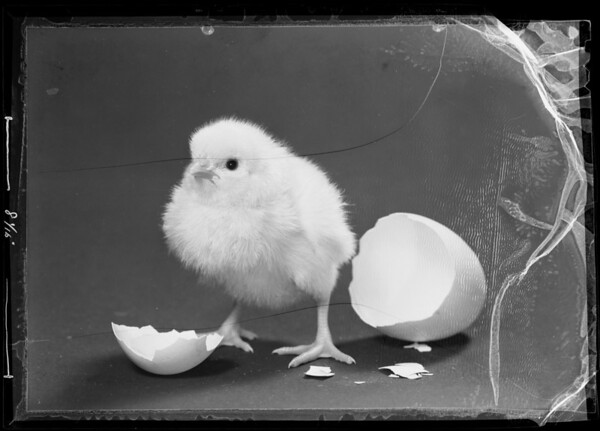 Chick and shell, Southern California, 1936