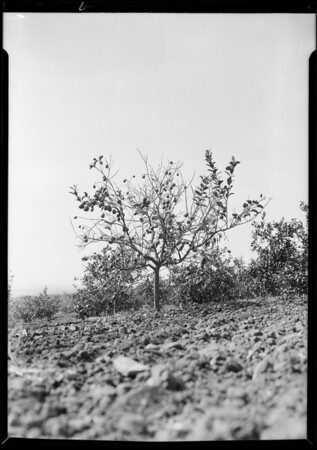 Red scale on lemon trees at Brea, Southern California, 1931 [image 7]