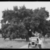 Chevrolet and oak trees, Southern California, 1926