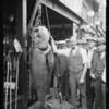 Deep sea fishing, fish caught at Santa Monica, Southern California, 1925