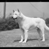 Dog at Alta Canyada, J.V. Barnes owner, 4608 Alta Canyada Road, La Cañada Flintridge, CA, 1931