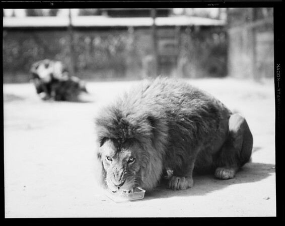 Lions at Jay's Lion Farm, Southern California, 1931