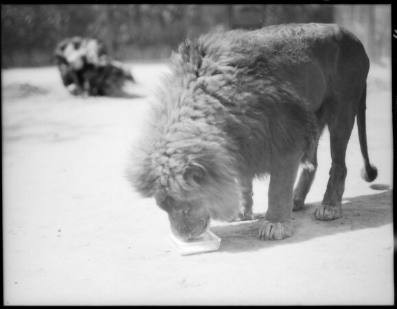 Feeding milk to lions at Jay's lion farm, Southern California, 1931