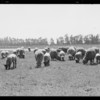 Sheep as lawn mower at Los Angeles Municipal Airport [Los Angeles International Airport], H-2, Los Angeles, CA, 1930
