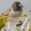 Dark Eyed Junco gathering food for babies.