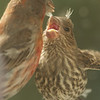 House Finch with Baby