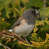 Junco gathering insects for chicks.
